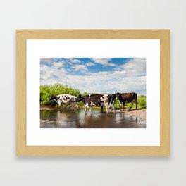 Herd of cows walking across pool Framed Art Print