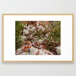 Arizona Mountain Kingsnake Framed Art Print