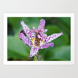 Toad Lily Art Print