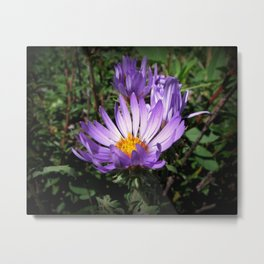 Purple Asters Metal Print
