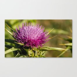 Single Thistle in Monterey, California Canvas Print