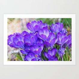 Violet Crocuses Art Print