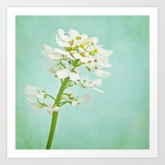 candytuft blossoms Art Print