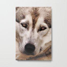 Husky 2 Metal Print