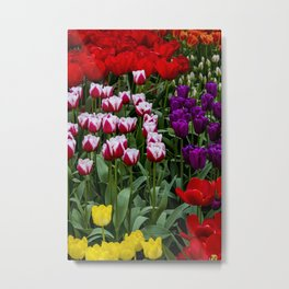 Field of Yellow, Purple, Red, and White and Red Stripe Tulips in Amsterdam, Netherlands Metal Print