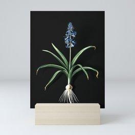 Vintage Scilla Patula Botanical Illustration on Black (Portrait) Mini Art Print
