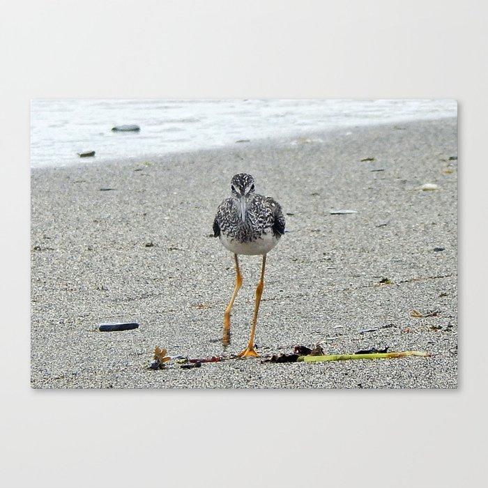 Greater Yellowlegs (Sandpiper) Looking at Camera  Canvas Print