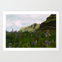 Lupine Fields in Iceland Art Print