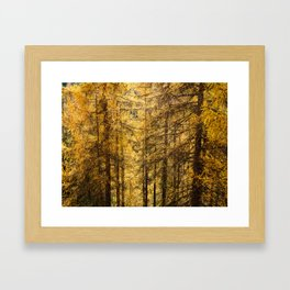 Yellow glowing larchs in autumn Framed Art Print