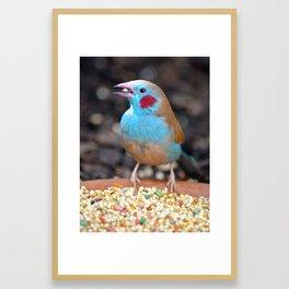 Cordon Bleu Finch Framed Art Print