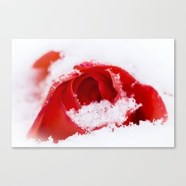 A lone rose resting in the snow after a late London snowstorm in March Canvas Print