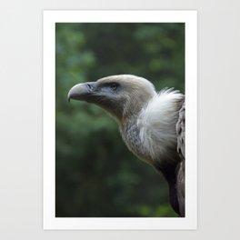 Griffon Vulture Art Print
