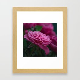 Magnificent Pink Rose Framed Art Print