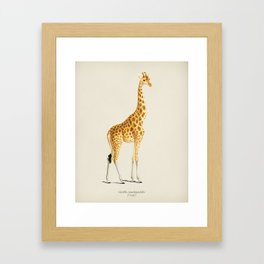 Giraffe (Giraffa camelopardalis) illustrated by Charles Dessalines D' Orbigny (1806-1876) Framed Art Print