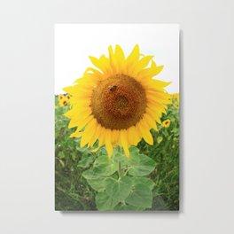 Sonnenblumen 2 Metal Print