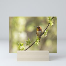 Male Rufous Hummingbird on a Branch Mini Art Print