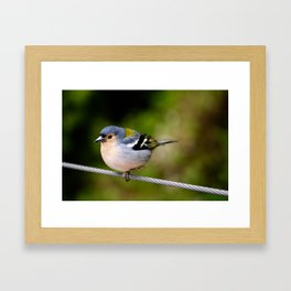 Beautiful Madeiran chaffinch bird standing one one leg at wire. Framed Art Print