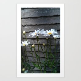 Giant Daisies with Wood background Art Print