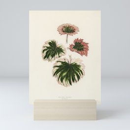 Saxifrage (Saxifraga Fortunei) engraved by Benjamin Fawcett (1808-1893) for Shirley Hibberds (1825-1 Mini Art Print