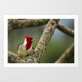 Red Crested Cardinal Art Print