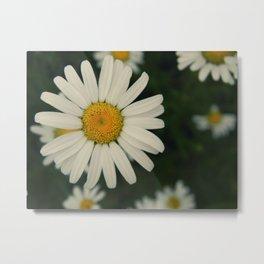 more daisies. Metal Print