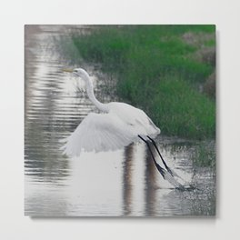 Egret's Ascent From Edge of Pond Metal Print