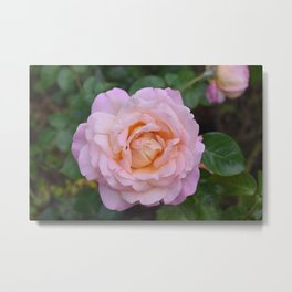 Rose Bloom Metal Print