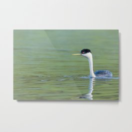 A Grebe navigates the early morning waters on a peaceful lake Metal Print