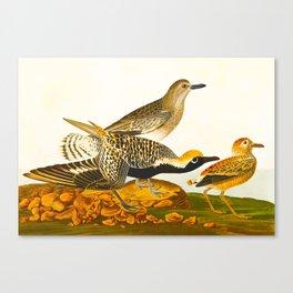 Black-bellied Plover Bird Canvas Print