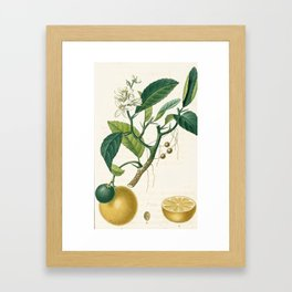 Lemon tree Vintage illustration Framed Art Print