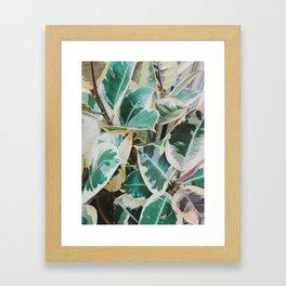 Verigated Rubber Plant Framed Art Print