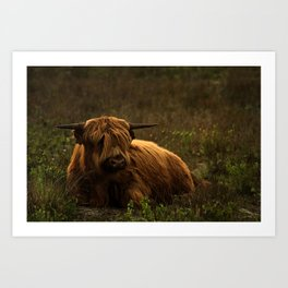 Scottish Highland hairy cow Art Print