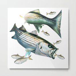 Striped Bass Chasing Menhaden Metal Print