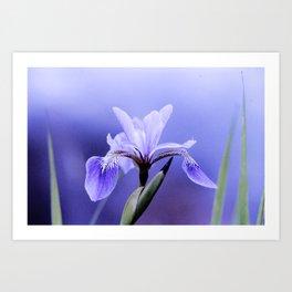 The Blue Flag Iris, full blue bloom Art Print