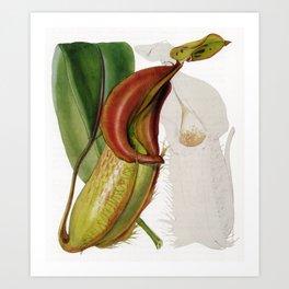 Nepenthes Veitchii Art Print
