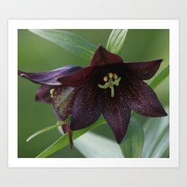 Chocolate Lily Photography Print Art Print