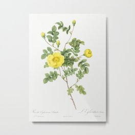 Sweetbriar Rose, also known as Eglantine Rose (Rosa eglanteria luteola) from Les Roses (1817–1824) b Metal Print