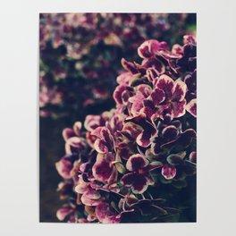 hydrangea - deep purple Poster