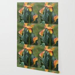 colored calla lily in the garden Wallpaper