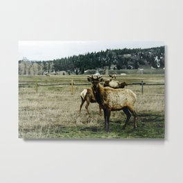 Elk, Grand Teton National Park Metal Print