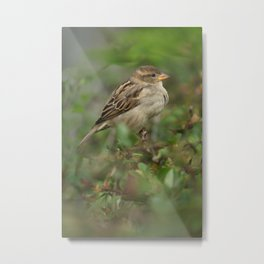 Hedge Sparrow Metal Print