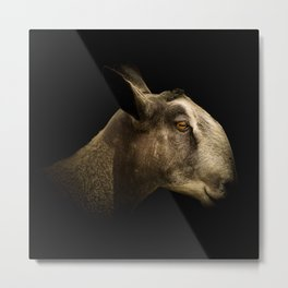 Blue Faced Leicester Metal Print