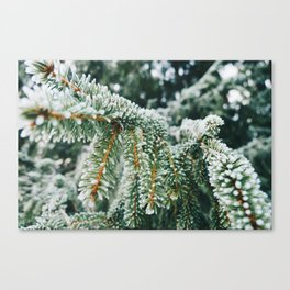 Evergreen Branch with Snow (Color) Canvas Print