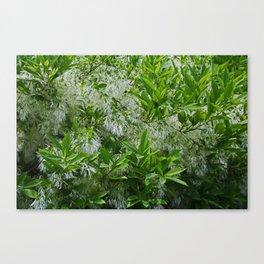White Fringe Tree Canvas Print