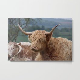 Portrait of Highland Cattle Metal Print
