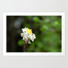 Oriental Paperbush Flower Art Print