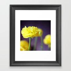 Yellow Ranunculus Framed Art Print
