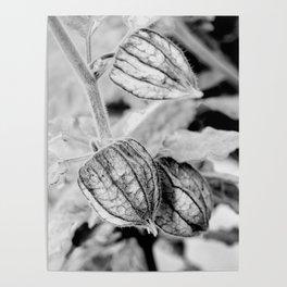 Physalis angulata Poster