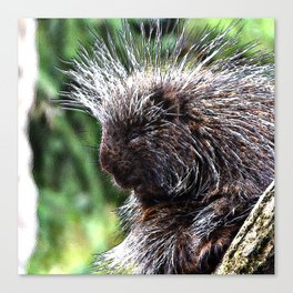 toony New World porcupines ( Erethizontidae) Canvas Print