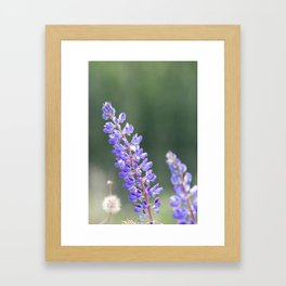 Lupines and dandelions Framed Art Print